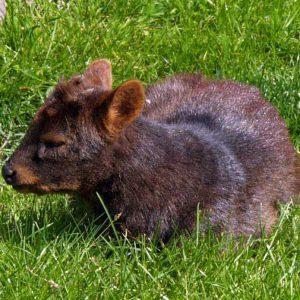 Venado Conejo