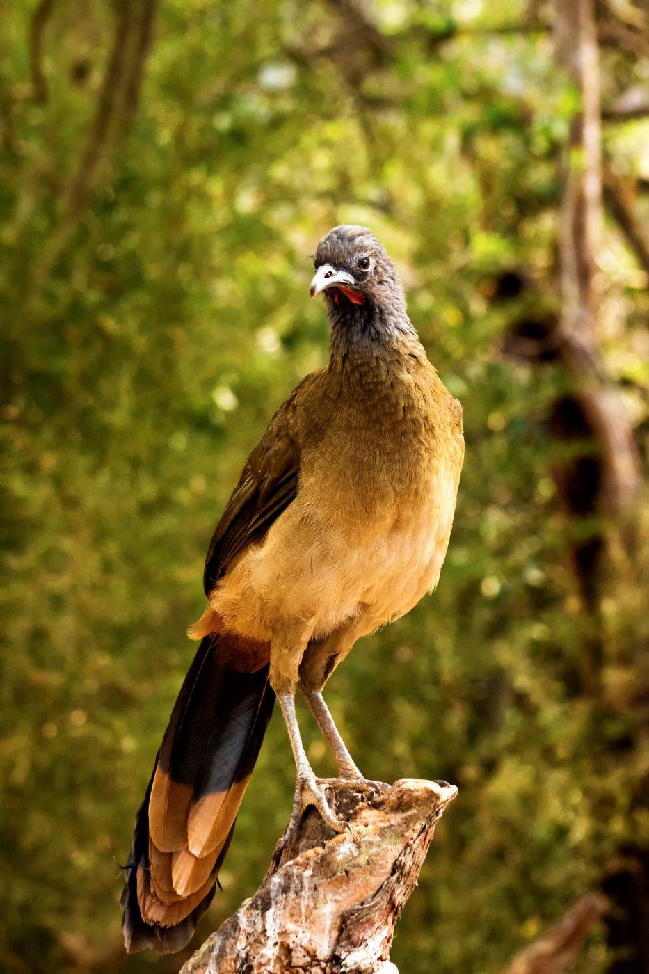 aves Guacharaca Caribena