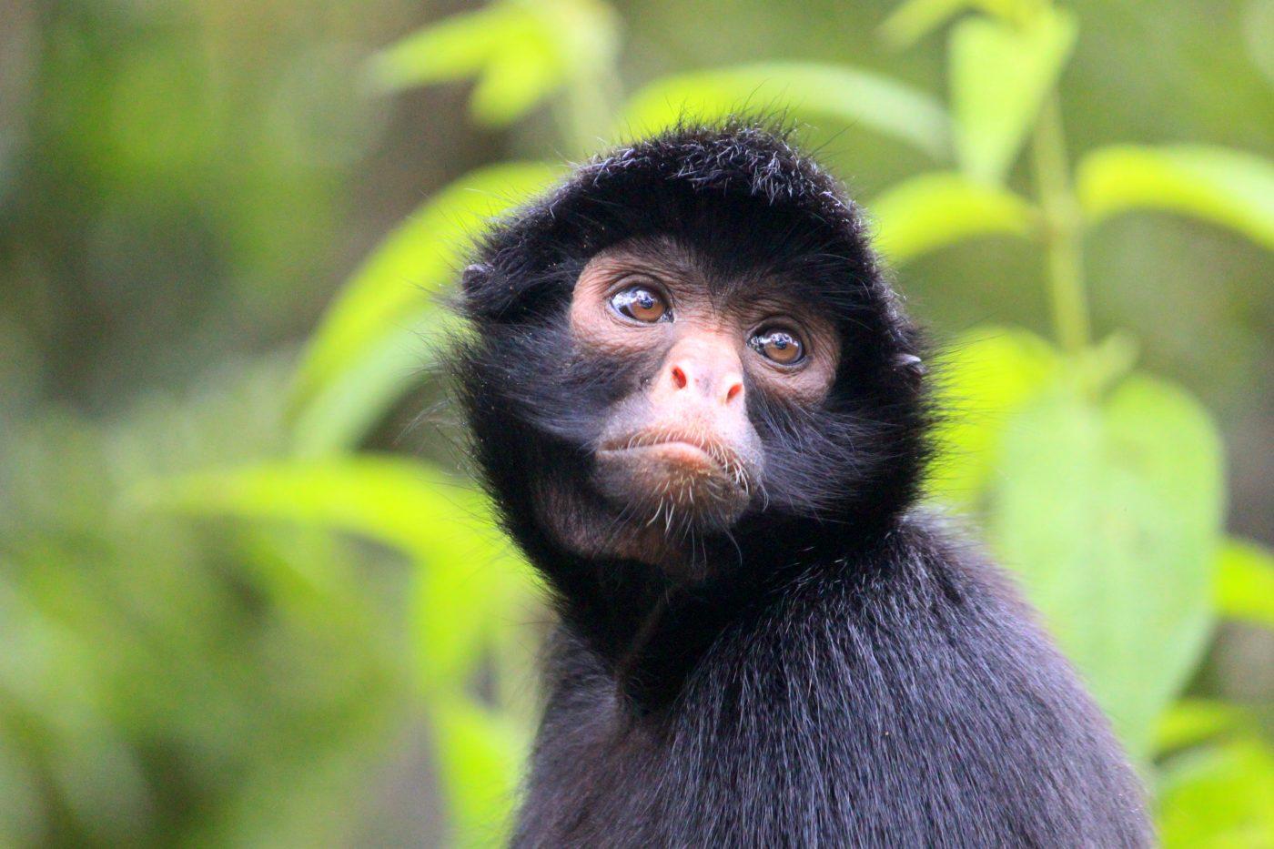 Mono Araña - Animal Bank