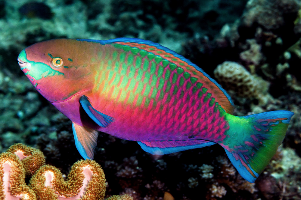 pez loro Animal Bank