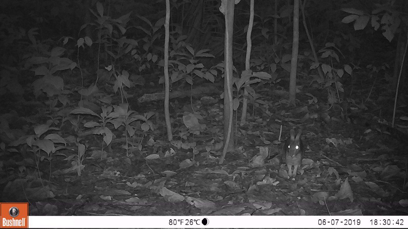 Conejo Silvestre - Animal Bank - Fototrampeo