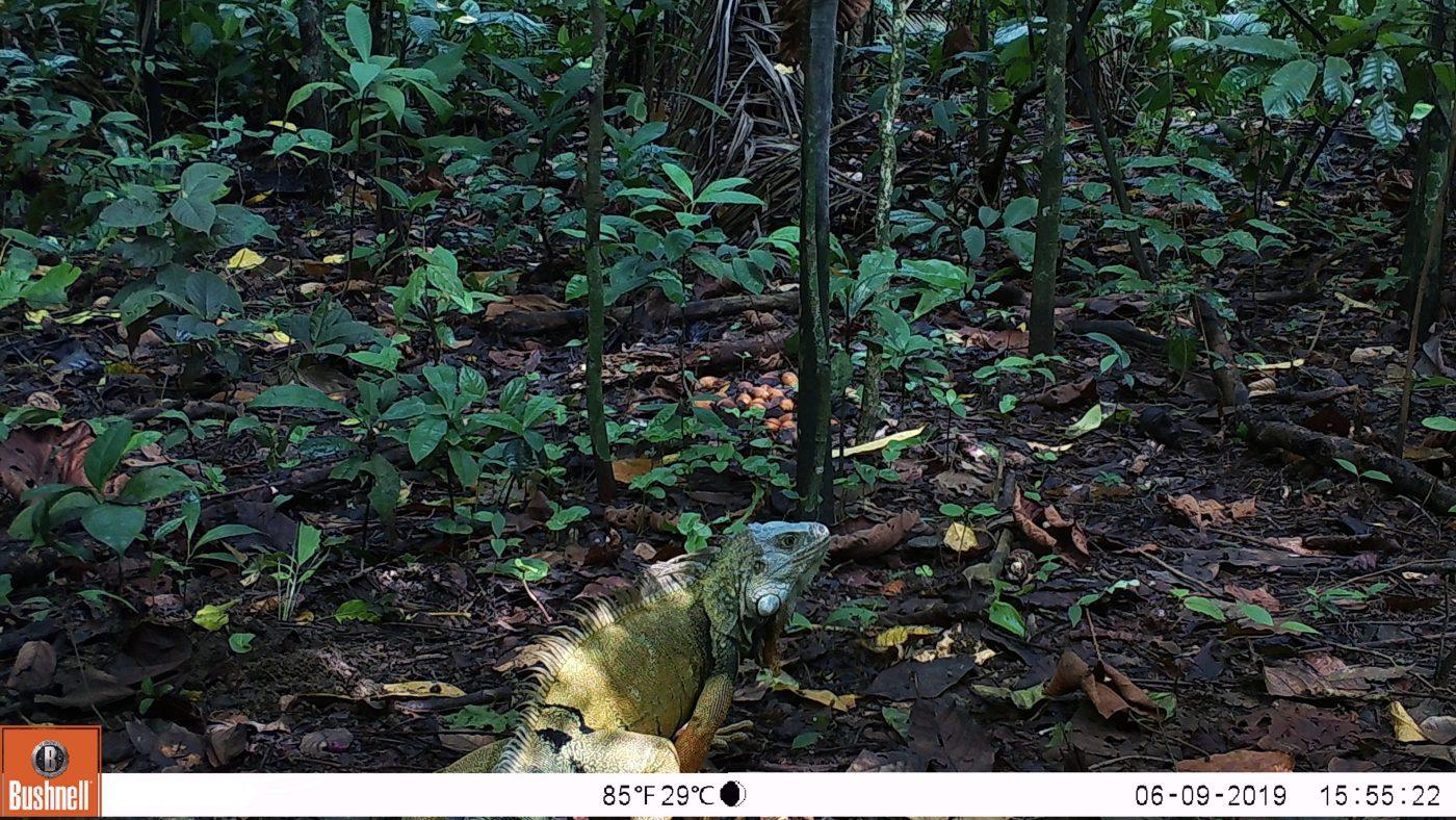 Iguana - Fototrampeo
