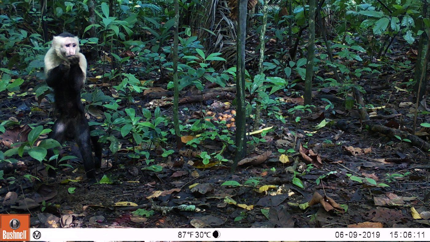 Mono Capuchino - Animal Bank - Fototrampeo